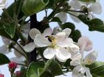 彦根りんごの花--八木原さん提供