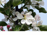 彦根リンゴの花